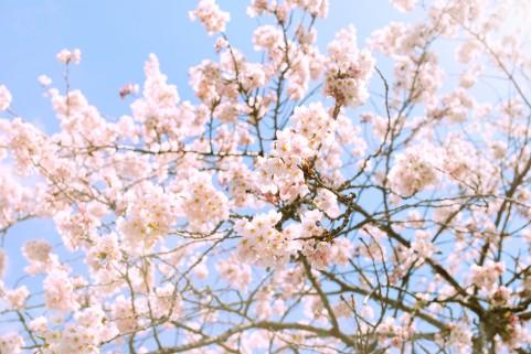 桜の木(サクラサク)