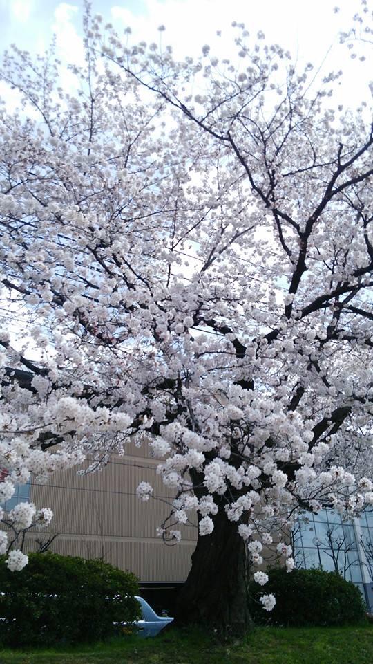 鴨川沿いの桜